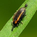 Hispine Beetle thumbnail