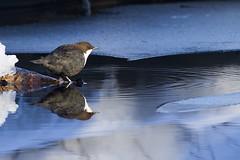 1074 (P. Koskela) Tags: whitethroateddipper bird dipper koskikara fossekall strömstare wasseramsel suomi tampere peltolammi pärrinkoski naturephotography brook puro reflection