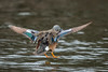 BlueWingLanding (jmishefske) Tags: 2018 d850 nikon nature water center whitnall milwaukee franklin mallardlake drake wisconsin teal flight wehr male bird bluewinged duck park landing spring bif april