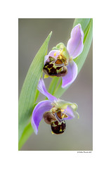 Ophrys Apifera (g.femenias) Tags: ophrysapifera ophrys wildorchid wildflower wildbeeorchid bee orchid beeorchid nature macrophotography sonbosc platjademuro albuferadalcúdia muro mallorca