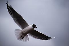 Black-headed Gull (jamiemcd17) Tags: bird gull seagull seabird bif nikon wildlife feathers wings flight nature wild