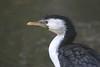Little Pied Cormorant........... (law_keven) Tags: littlepiedcormorant paris france birds wildlife wildlifephotography photography avian feathers menagerieduplantes zoo zoology