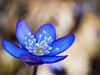 I'm blue - da ba dee da ba daa (Karsten Gieselmann) Tags: 60mmf28 anemoneamericana blau bokeh braun dof em5markii frühling jahreszeiten leberblümchen mzuiko microfourthirds natur olympus pflanzen schärfentiefe textur wald wildblumen blue brown forest hepaticanobilis kgiesel m43 mft nature seasons spring texture wildflowers wood