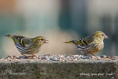 Erlenzeisig (Spinus spinus) - fermale ♀ (sh - photographie) Tags: wildlife tierwelt nature bird vögel erlenzeisig spinusspinus siskin tiere animal