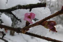 Mandelblüte (Elbmaedchen) Tags: mandelblüte eis winter tropfen wassertropfen tau kirschblüte haiku