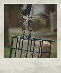 Little Bird on Our Suet Feeder   Phony Polaroid (steveartist) Tags: songbird feeders suetfeeder bokeh sonydscwx220 snapseed instantapp telephoto fakepolaroids smallbirds