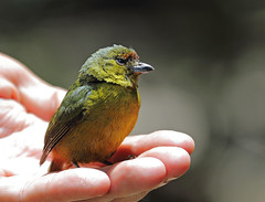 A87A6876 Olive-backed Euphonia (steve.ray50) Tags: 2018 costarica lapazwaterfallgardens