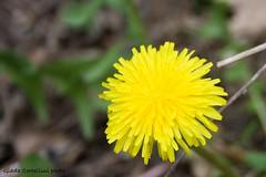 Dandelion (Giada Cortellini) Tags: dandelio soffione makeawish yellow wildflowers macro photography canon nature lovenature simplicity primavera tarassaco dentedileone april aprile spring springtime