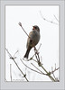 KUS850-8670 (Weinstöckle) Tags: vogel heckenbraunelle