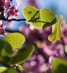 Shadow & Web (Cirrusgazer) Tags: cercis cercissiliquastrum crete fabaceae greece judastree spring backlit blossom cobweb earlymorning flowers green leaves macro pink shadow sunlight veins