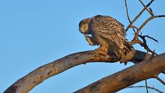 DSC_0560_edit (Hanzy2012) Tags: nikon toronto ontario canada wildlife bird owl snowyowl buboscandiacus afsnikkor500mmf4difedii d500 nature wild