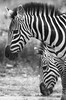 Line Study (AnyMotion) Tags: plainszebra steppenzebra equusquagga portrait porträt stripes streifen barcode bokeh 2018 anymotion ndutu ngorongoroconservationarea tanzania tansania africa afrika travel reisen animal animals tiere nature natur wildlife 7d2 canoneos7dmarkii bw blackandwhite sw ngc npc