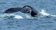 A whale of a Tail (Carl Neufelder) Tags: greywhale cabosanlucas whale tail mexico bajapeninsula