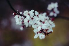 Primavera (Momentos que no se buscan...) Tags: abril april flores flor flowers flower color white blanco desenfoque primavera spring canon canon450d 50mm 50mmlens nature naturaleza floración