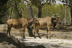 Giant Eland (Taurotragus derbianus) (ucumari photography) Tags: ucumariphotography zoo miami fl florida march 2018 gianteland taurotragusderbianus animal mammal hoofstock dsc3691