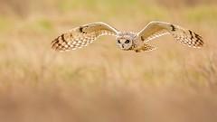 Short Eared Owl. (Jez Nunn) Tags: shortearedowlbirdinflightnaturewildlifefarlingtonmarshbirdofpreyflying