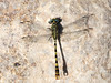 Small Pincertail (Onychogomphus_forcipatus ssp. albotibialis) ♂. (od0man) Tags: smallpincertail onychogomphusforcipatussspalbotibialis anisoptera odonata dragonfly insect macro loutanisriver rhodes greece dorsalview macrolife canonef100mmf28lisusmmacro
