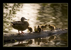 Getting all your ducks in a row (the_coprolite) Tags: duck coquitlam bc britishcolumbia hoycreek lafargelake canada nikon d750 sigma 150600mm