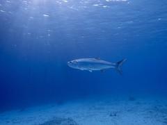 Diving Bonaire 2018 (Valerie Hukalo) Tags: tarpon bonaire antilles caraïbes paysbas diving plongée plongéesousmarine photographiesousmarine underwaterphotography hukalo patrickhukalo buddydiveresort
