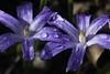 After the rain (Theo Bauhuis) Tags: bloem bol tuin chionodoxa bulb blue drop druppel grden flower