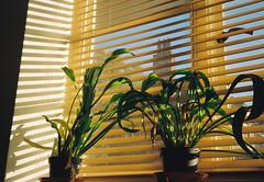 (thomas100) Tags: olympus35rc kodak gold olympus plant window blinds shadows sky