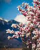 Magnolia (Ákos Fekete) Tags: meyeroptikorestor meyer vintage optics bokeh flower spring italy europe colors colorful sunny sun blue pink magenta tree nature sony mirrorless m42 mountain alps