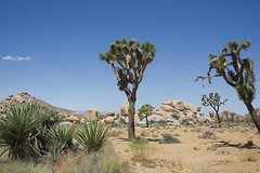 D75_3901 (joezhou2003) Tags: joshua tree national park nikon d750 24120mm vr landscape