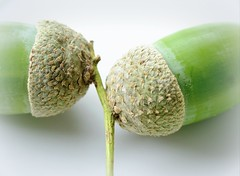 From little things (flowrwolf) Tags: cmwd cmwdgreen colormyworlddaily green whitebackground acorns 118picturesin2018 118in2018 lostorfoundfor118