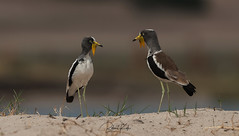 Lapwing discussion! (Jambo53 ()) Tags: nikond700 600mmf4 chobe kasane northernbotswana southernafrica robertkok lapwing nature wildlife