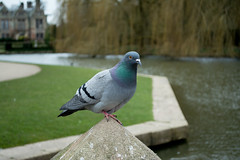 20180322-20_Coombe Abbey Country Park - Pigeon (gary.hadden) Tags: coombeabbey coombepark coventry warwickshire countrypark rambling countrywalking pidgeon bird colourful coombepool posing