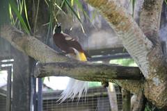 Raggiana Bird-of-paradise (kahunapulej) Tags: bird birds paradisaea raggiana birdofparadise paradise png papua new guinea