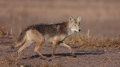 Coyote (Hammerchewer) Tags: coyote animal wildlife outdoor