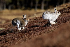 Mountain Hares - Scottish Highlands (Ally.Kemp) Tags: mountain hares scotland coat winter summer brown white moulting pelage lepus timidus cairngorm national park