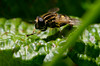 Hoverfly (corvus corax83) Tags: d5200 nikon extension tubes macro sigma105mm 105mm