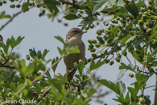 Sylvia communis ♂ - Whitethroat