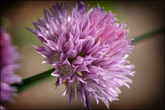 BLOOMING! (Ageeth van Geest) Tags: smileonsaturday preciouspurple purple 7dwf closeup sundaylights herbes macromondays allnatural bieslook chive macro flower