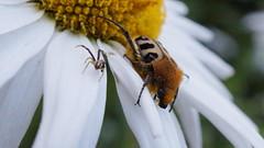 Naturel !!! (passionpapillon) Tags: macro insecte fleur nature macromondays aiinaturalandhavefun passionpapillon 2018 trichiefasciée