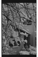 P60-2018-008 (lianefinch) Tags: argentique argentic monochrome blackandwhite blackwhite bw noirblanc noiretblanc nb nature analogique arbre tree analog jardin garden hiver winter snow neige frozen gelé