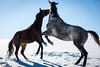 (Jen MacNeill) Tags: horse horses equine snow winter play rear spirited playing