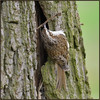 Tree Creeper (image 3 of 3) (Full Moon Images) Tags: rspb sandy lodge thelodge wildlife nature reserve bedfordshire bird nest building tree creeper