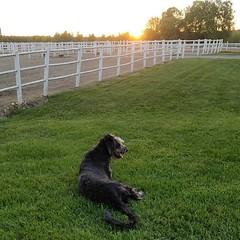 Melvin nauttii ilta-auringosta @laaksolan_ratsutila