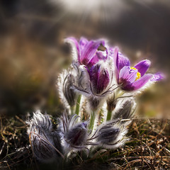 Pasque flower (BirgittaSjostedt- away for a while.) Tags: flower pasque nature plant wild spring sunrays sunbeam softly texture bud outdoor macro rare birgittasjostedt