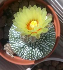 Astrophytum asterias cv. Superkabuto (NecroLynx) Tags: astrophytum asterias cactus buds flower yellow superkabuto