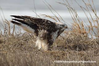 Rough-legged Hawk (Buteo lagopus sanctijohannis), light adult male DSC_7017