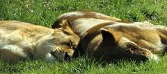 ~ Sprawling Pals @ Knowsley Safari Park ~ (A4ANGHARAD) Tags: lion s8650 fuji a4angharad macevans lioness
