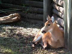 Ciervo del pantano (Sof-Xcaret24) Tags: temaiken animales fauna guazuvira ciervodelpantano