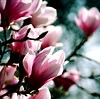 Make your soul Blossom (barbara_donders) Tags: natuur nature spring lente bloesem tree boom roze pink magical beautifull mooi prachtig art kunst bokeh macro magnolia