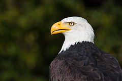 Bald Eagle Portrait (The Wasp Factory) Tags: baldeagle eagle weiskopfseeadler adler birdofprey raptor greifvogel birdsofpreydisplay birdsofpreyshow falknerei wisentgehegespringe wisentgehege springe wildlifepark wildpark tierpark