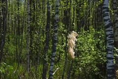 Mets (Jaan Keinaste) Tags: pentax k3 pentaxk3 eesti estonia loodus nature mets forest jüriterviserada kevad spring puu tree kask birch