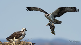 Osprey of the Jersey Shore | 2018 - 13